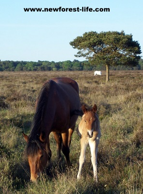 New Forest New foal with mum