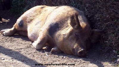 New Forest pig enjoying the summer sun