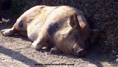 New Forest pig enjoying the summer sun