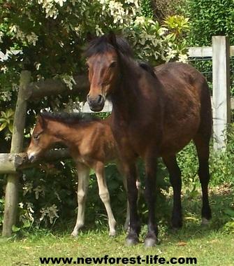 New Forest ponies Fudge & Tilley