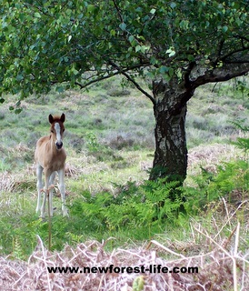 New Forest foal by tree