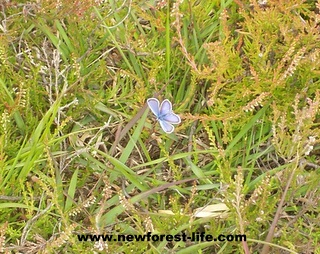 New Forest Butterfly near Hatchet Pond