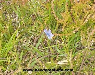 New Forest Butterfly near Hatchet Pond