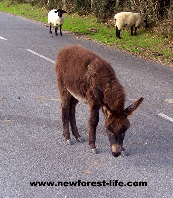 New Forest donkey testing the marathon route