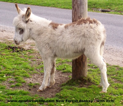 New Forest Donkey at Bramshaw