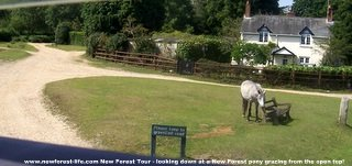 New Forest poni