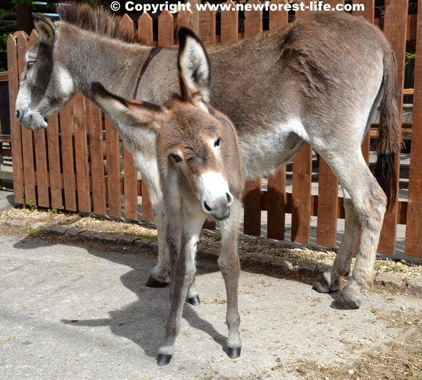 New Forest donkey foal - outside a pub. The poor donkeys are very, very wet this winter.