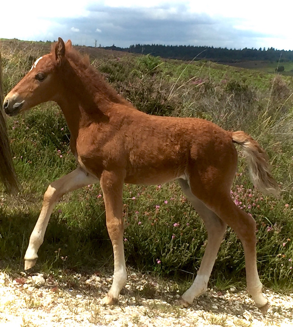 New Forest foal 2017