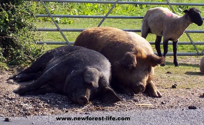 New Forest National Park pigs and sheep relaxing in the sun