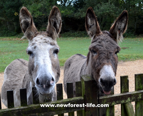 New Forest donkeys at our fence