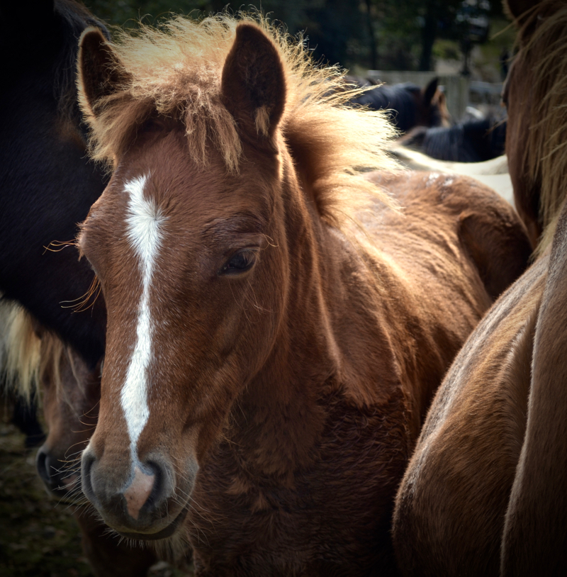 New Forest foal waiting patiently in the Drift
