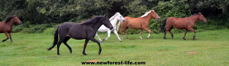 New Forest ponies after the Drift