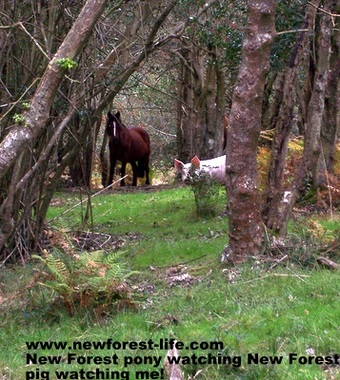 New Forest pony and piglet searching in the woods