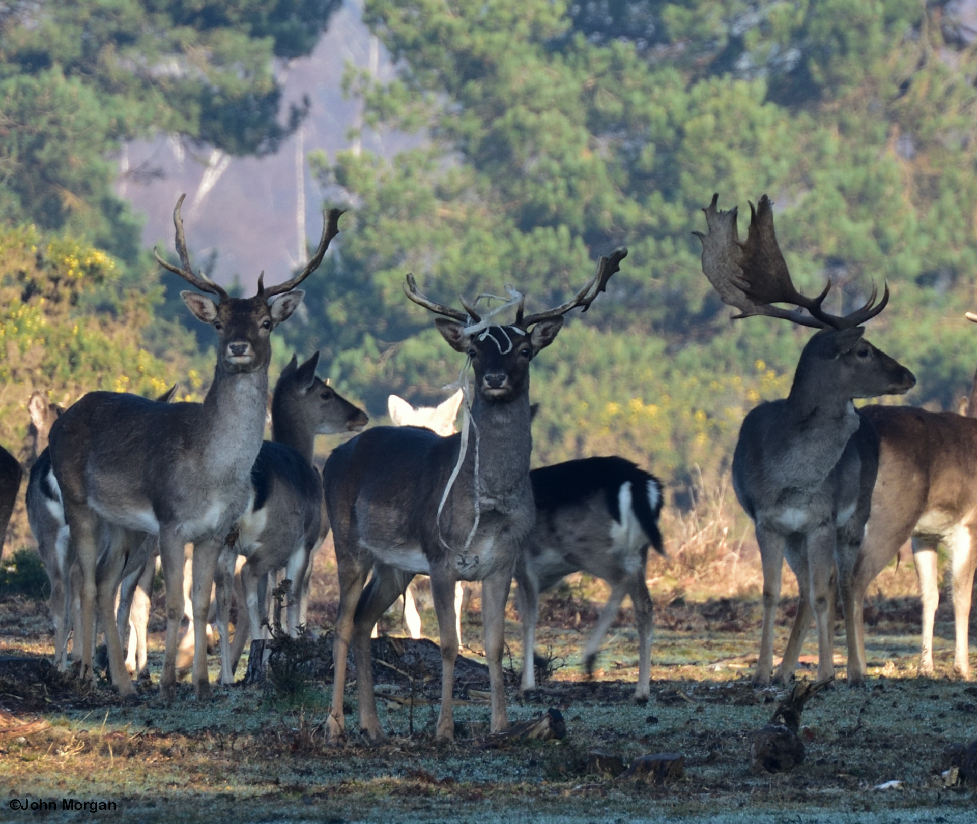 New Forest fallow deer photo with antler baggage courtesy of John Morgan