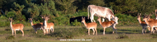 New Forest deer and cows grazing together
