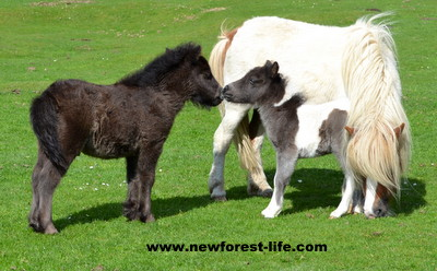 New Forest Shetland foal meeting a slightly older foal. The little one had been born the day before this photo was taken.