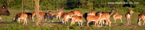 New Forest Fallow deer at Stoney Cross