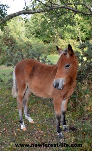 My New Forest pony