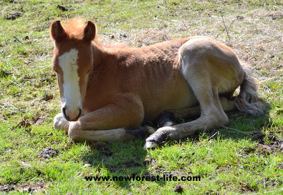 New Forest foal enjoying the sun.
