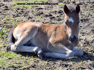 New Forest pony foal, just a few days old