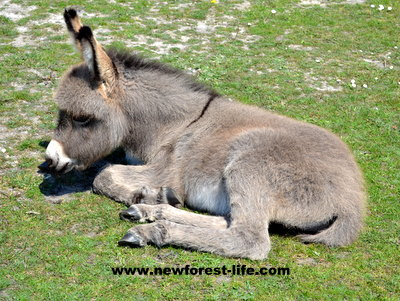 New Forest Donkey at Hatchet Pond
