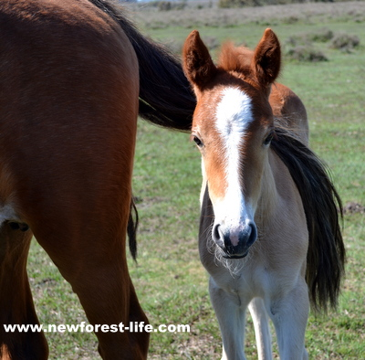 New Forest foal using mums tail to keep off flies