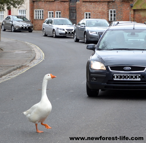 New Forest goose crossing the road at Beaulieu