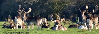 New Forest Fallow deer stags and herd at Ober Water