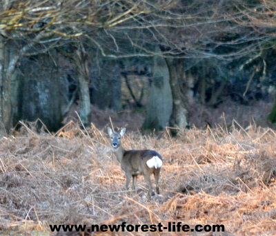 New Forest deer. Roe deer near Brockenhurst