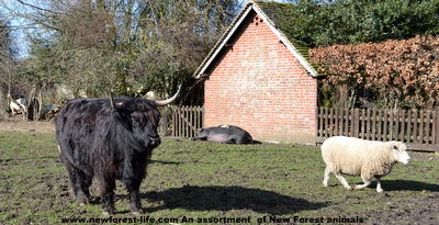 New Forest cow, sheep and pig