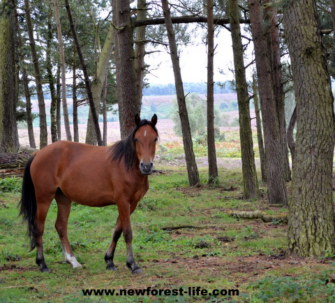 New Forest pony and far views