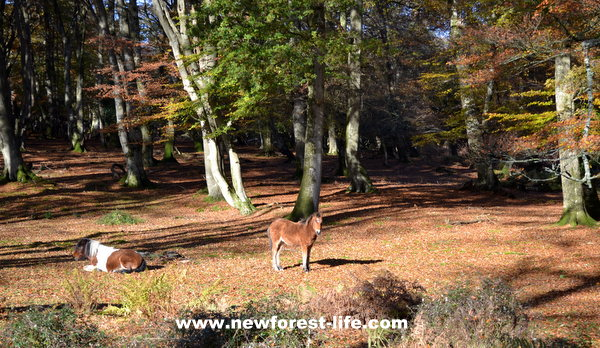 New Forest pony in autumn woodland