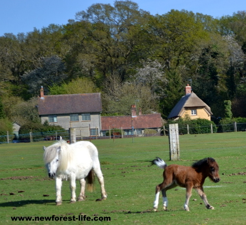 New Forest shetland pony foal having a play