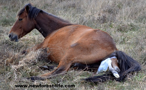 A newborn foal is born on the New Forest National Park and I was there