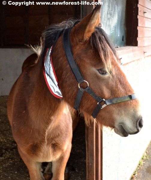 My New Forest foal yearling is now a gelding! All went well.
