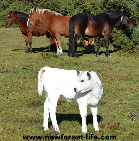 New Forest ponies and calf enjoying the sun.