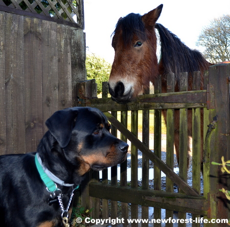 New Forest pony and our Rottie