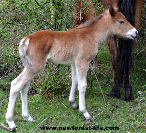 My New Forest foal aged 17hours old