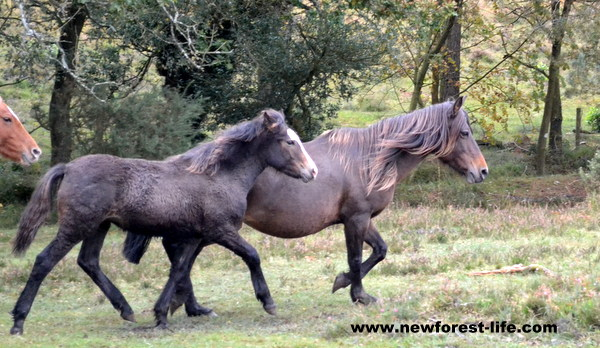 New Forest pony and her foal going through The Drift