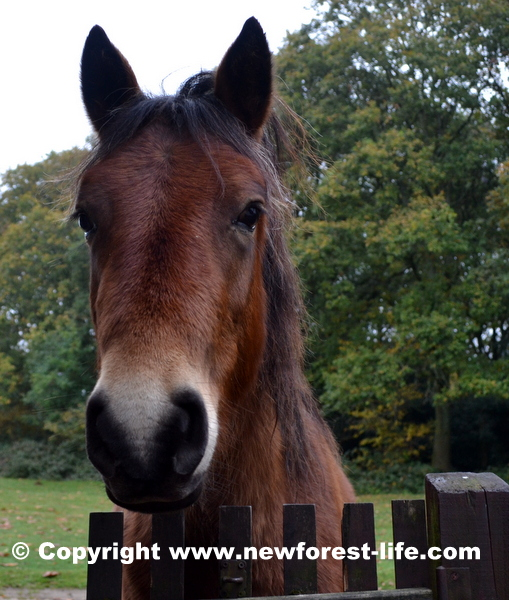 New Forest pony at our gate