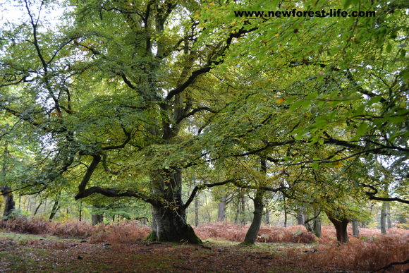 A huge ancient New Forest beech tree in autumn shades