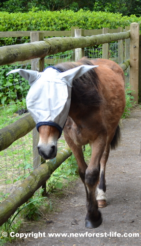 New Forest pony in his fly mask after puncturing his eye