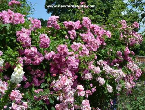 Mottisfont National Trust Rose Garden