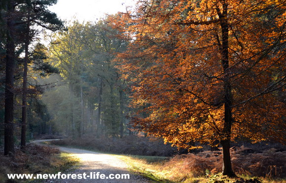 New Forest autumn light through the woodland trees