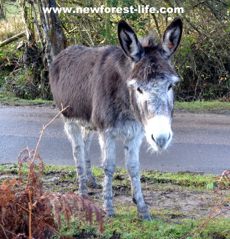 New Forest National Park donkey