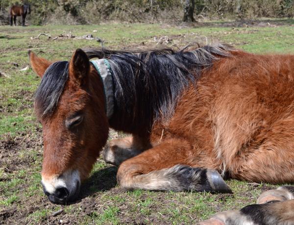 New Forest pony enjoying some Spring sunshine
