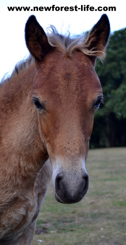 New Forest pony foal