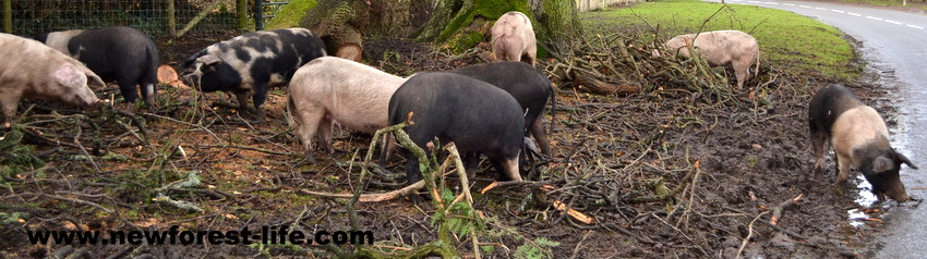 New Forest National Park pigs