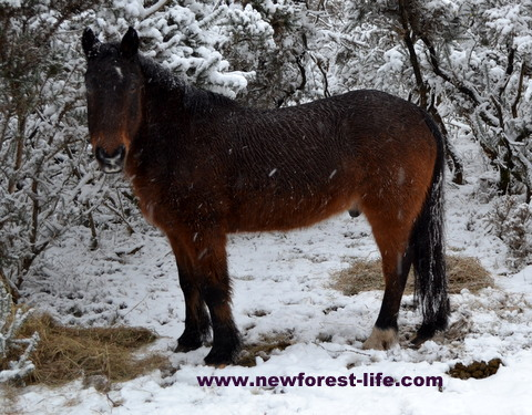 New Forest pony in light snow