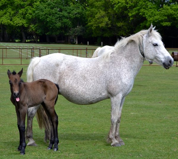 New Forest foal and her mum feeling in need of a drink?